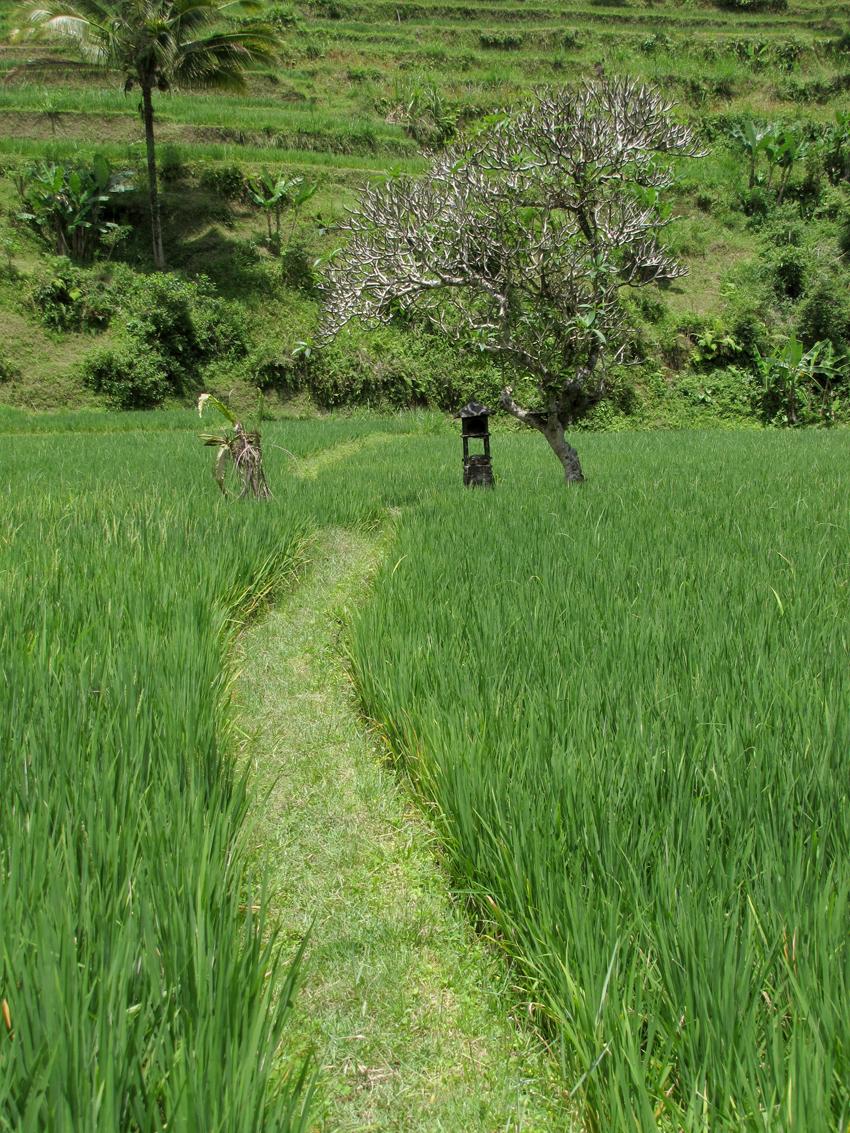 rizieres-ubud (2)