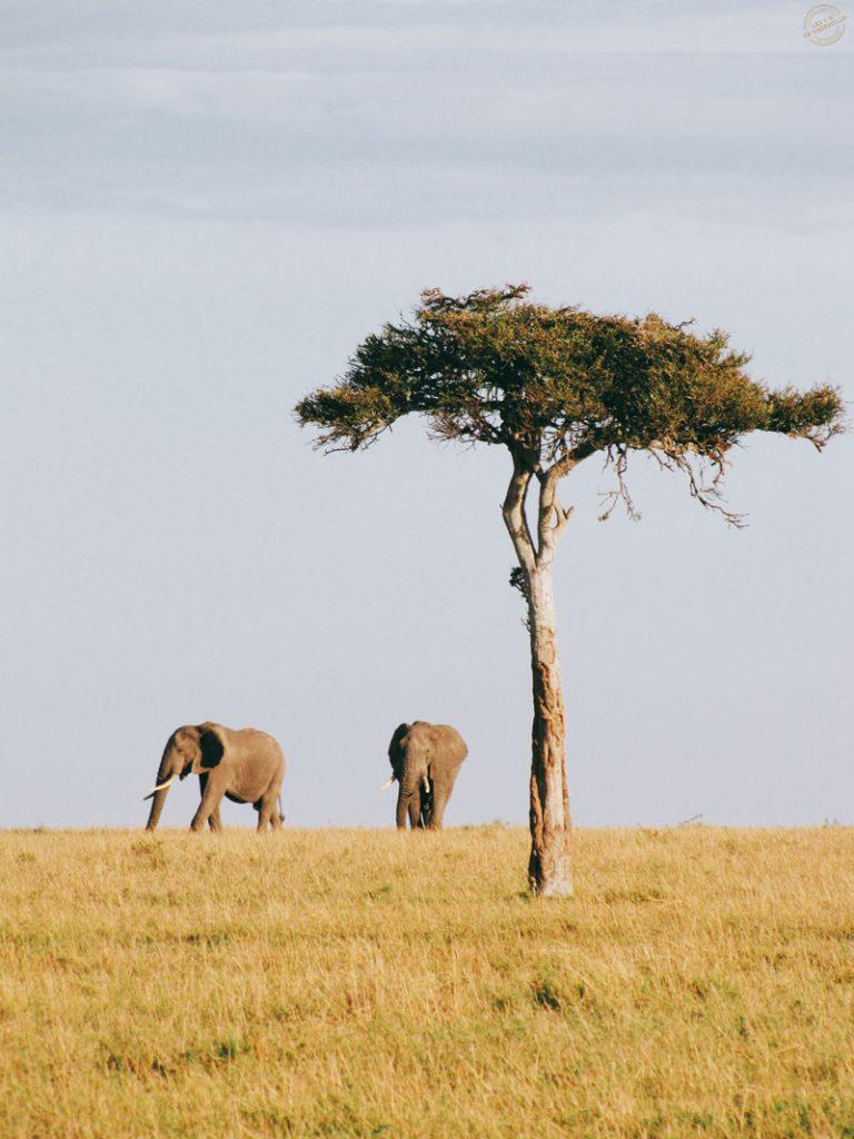 Elephant dans le Masai mara