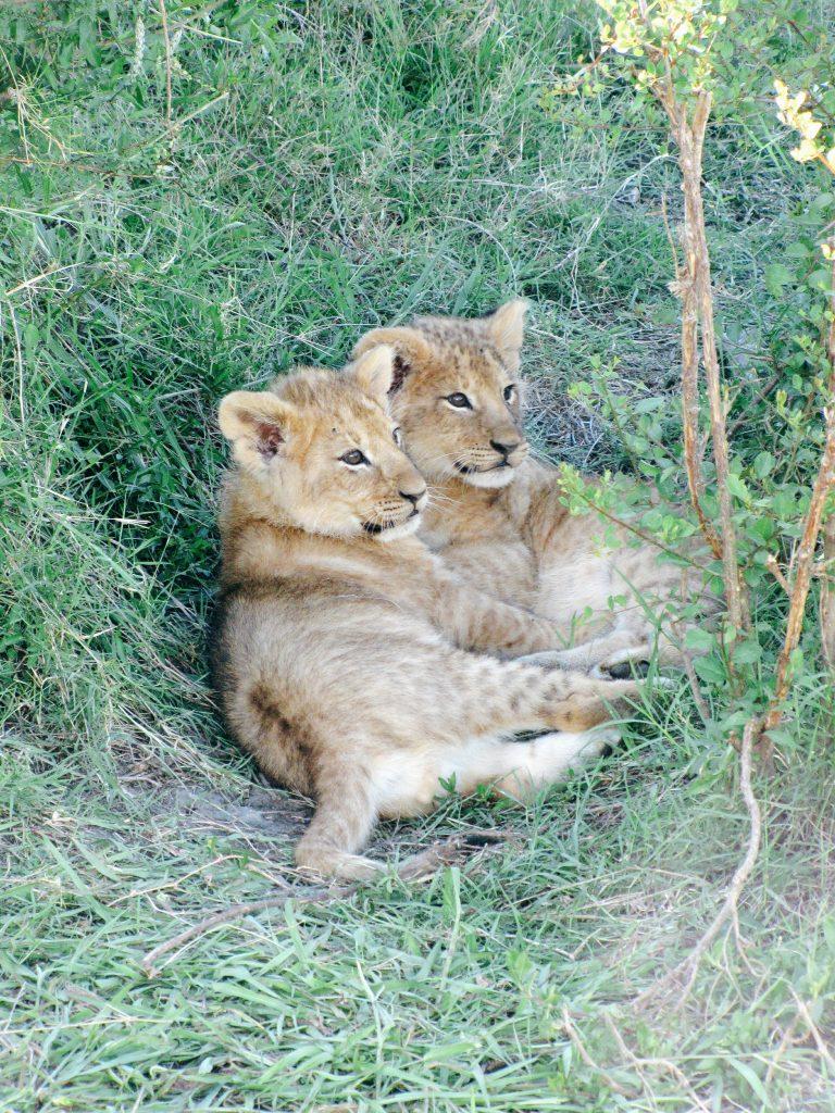 Trop mimi les bébés lions