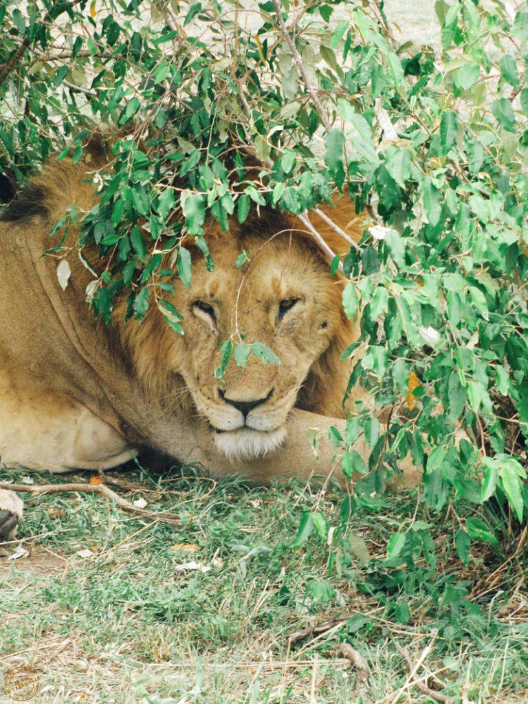 Lion à l'ombre