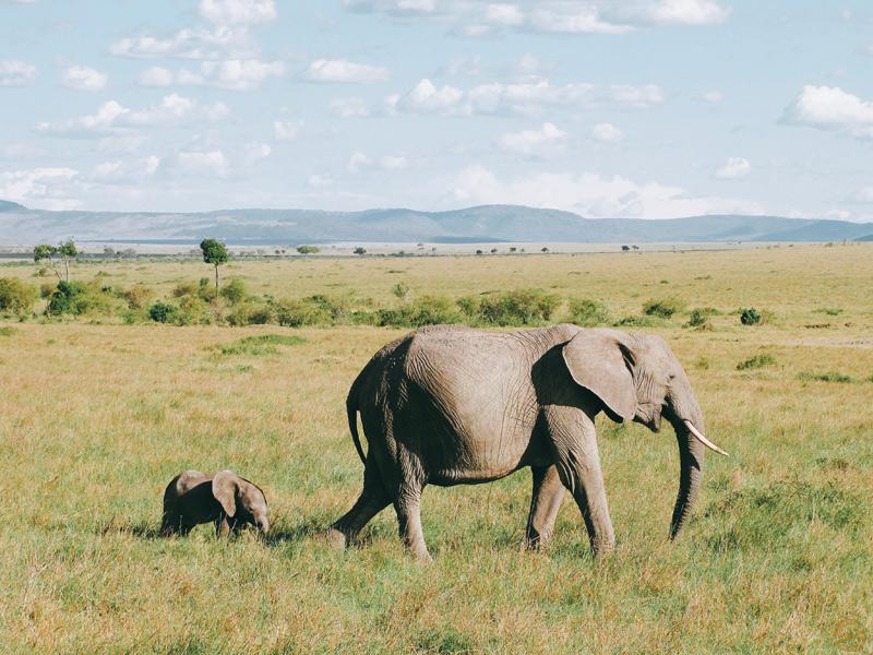 Elephante et son petit dans le Masai mara