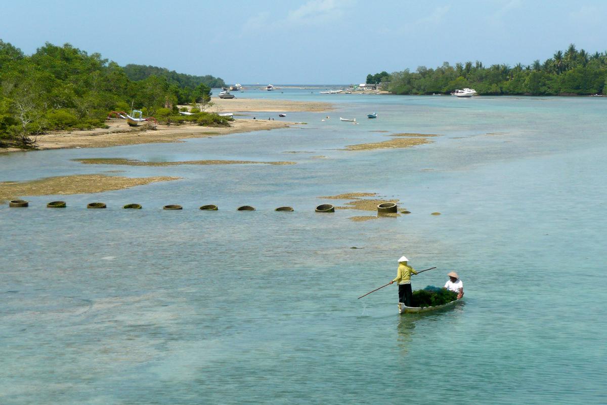 Récolte d'algues à Lembongan