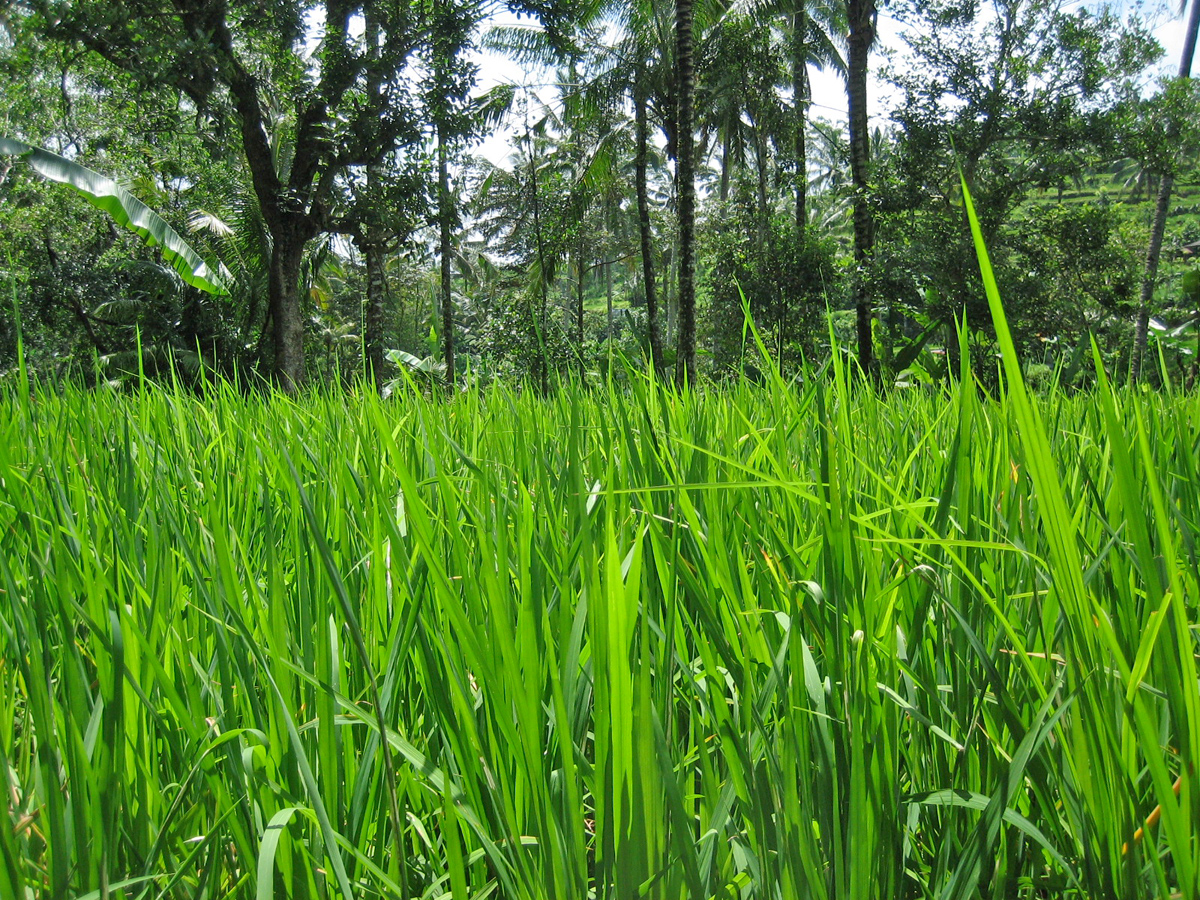 rizières de Tegalalang près d'Ubud