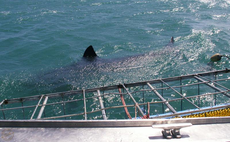requins-hermanus