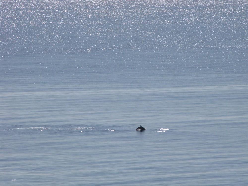 Dauphins au large d'Olmuccio