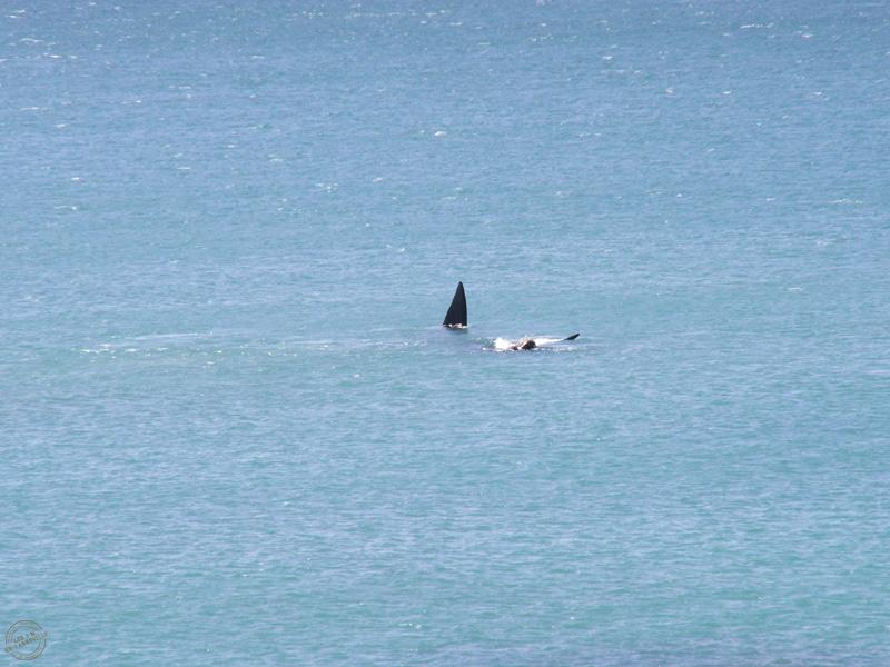 Baleine au large d'Arniston