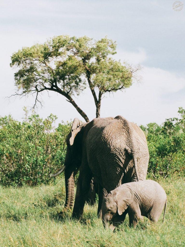 Elephants dans le Masai mara