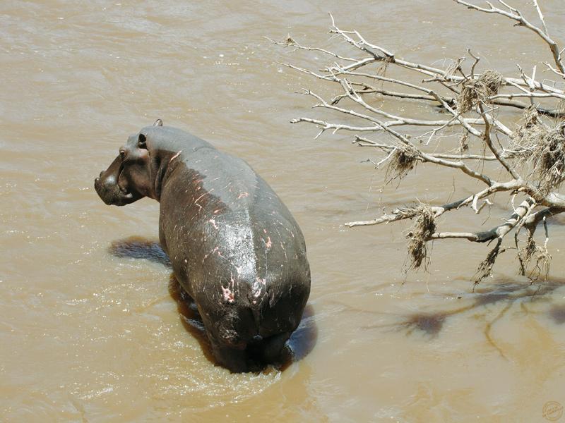 Hippopotame dans la rivière Talek