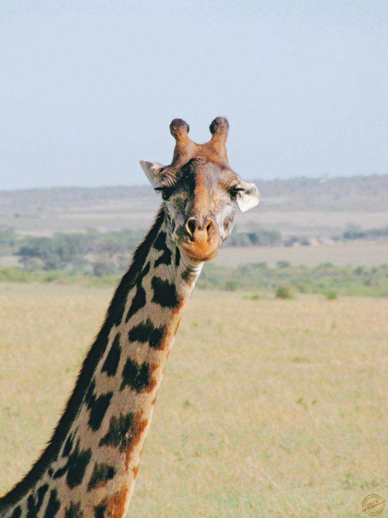 Coucou la girafe