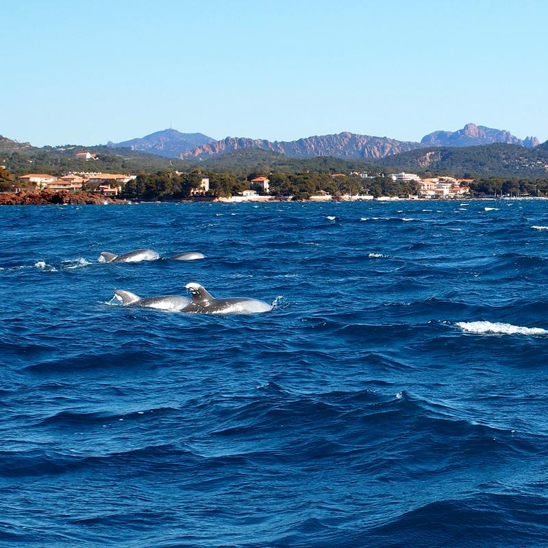 dauphins-st-raphael1