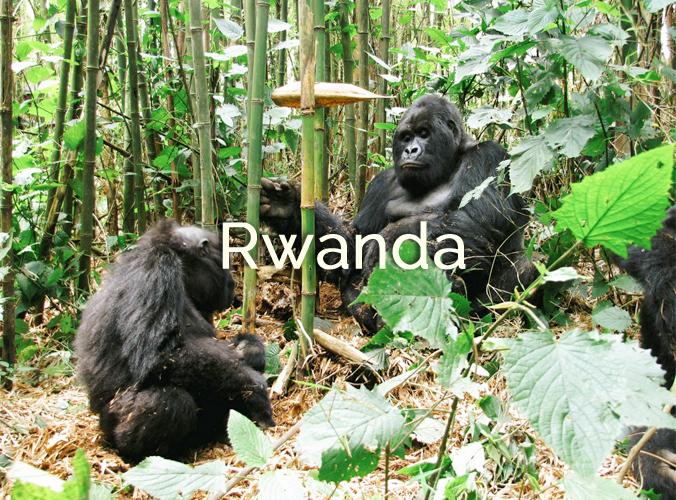 //  RWANDA 2013 //   3 jours dans ce pays émouvant, à la rencontre des derniers gorilles des montagnes