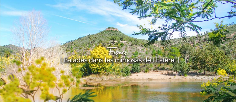 Randonnée dans les mimosas de l'Estérel